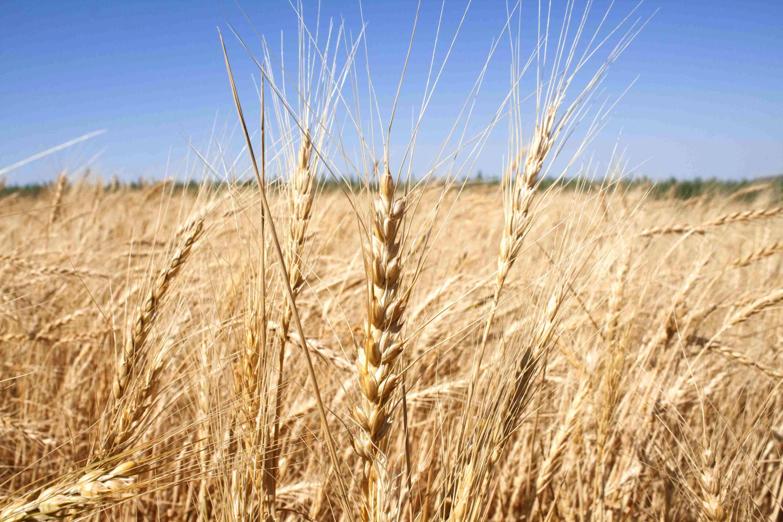 Variedades tradicionales de trigo duro: una gran oportunidad para la pasta ecológica artesanal