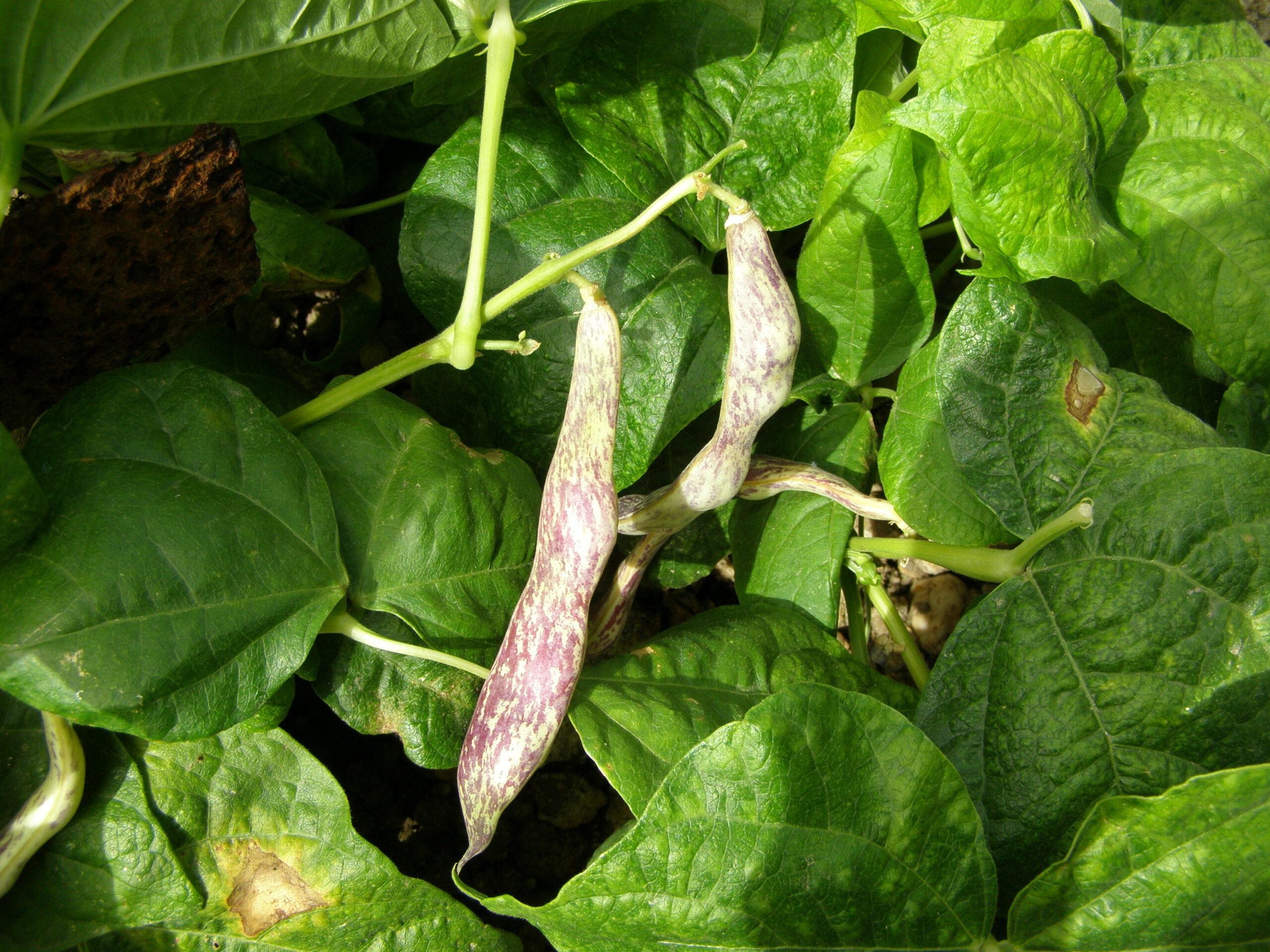 Calidad nutricional de las leguminosas y su papel en la alimentación actual