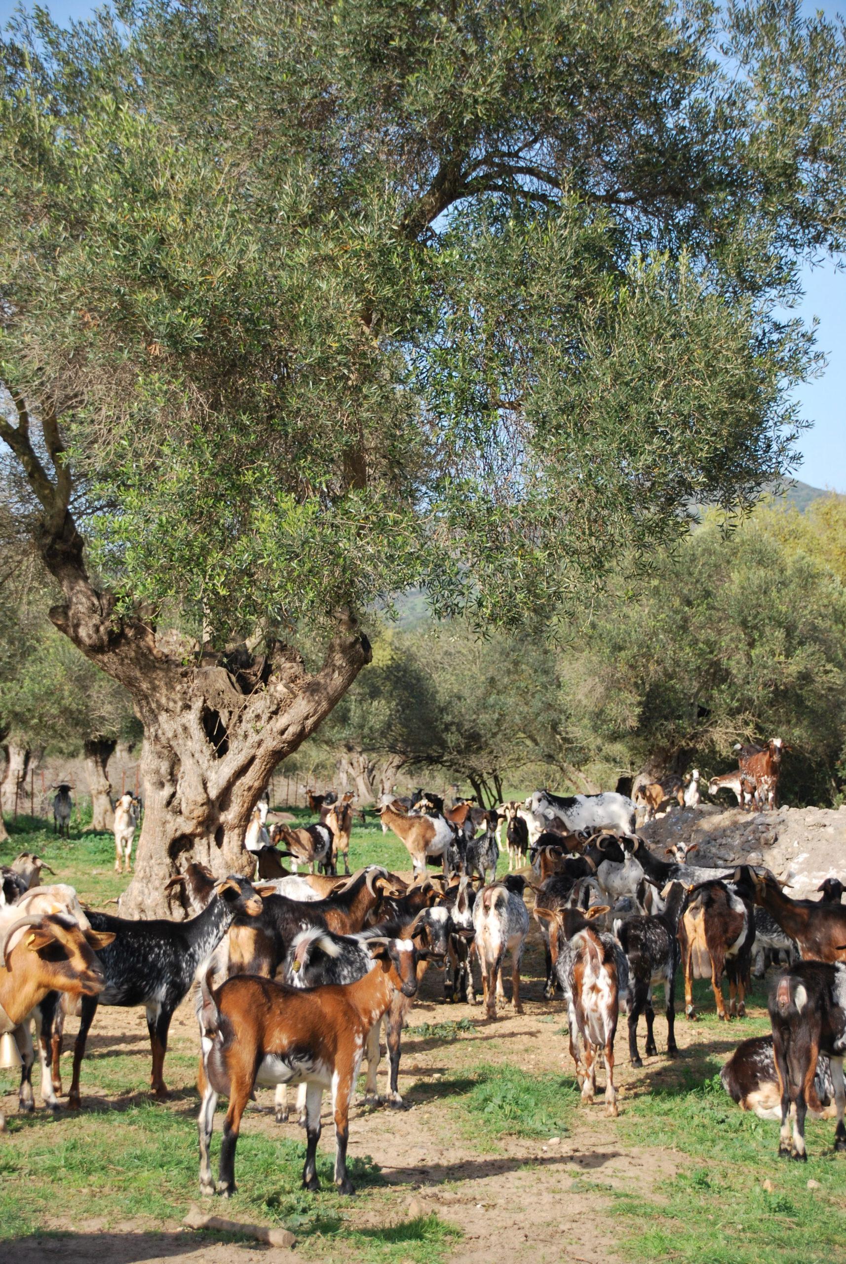 La ganadería caprina en el monte mediterráneo