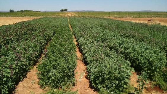La quinoa un cultivo de futuro en agricultura ecológica