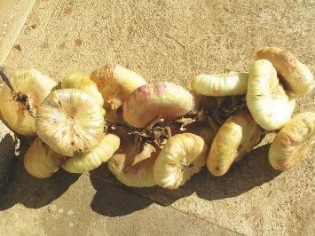 CEBOLLA CHATA DE USTÉS Allium Cepa L.